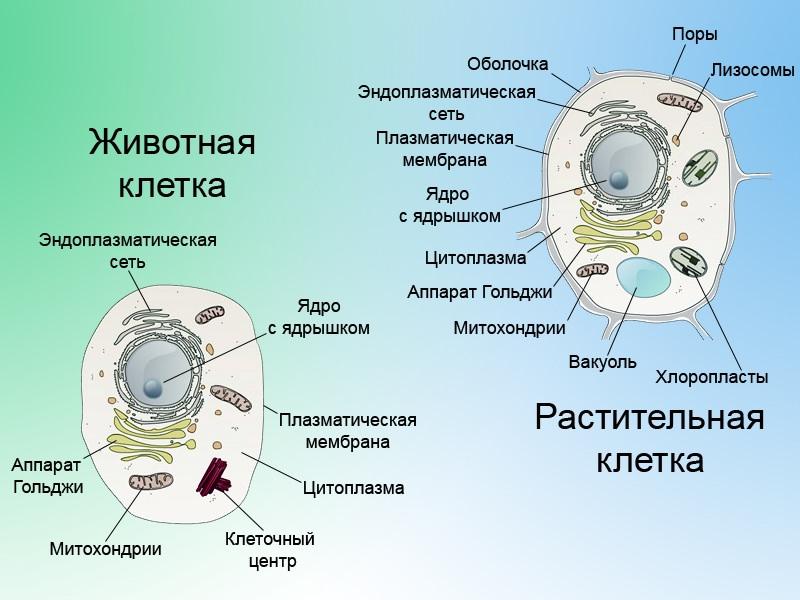 Конспект урока 10 класс органоиды